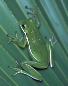 Pictures of Green Tree Frog