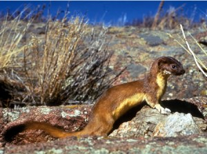 Long Tailed Weasel Picture