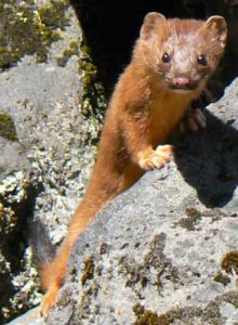 Images of Long Tailed Weasel