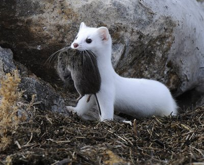 Photos of Long Tailed Weasel