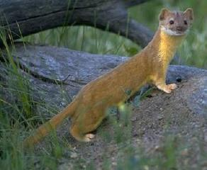 Pictures of Long Tailed Weasel