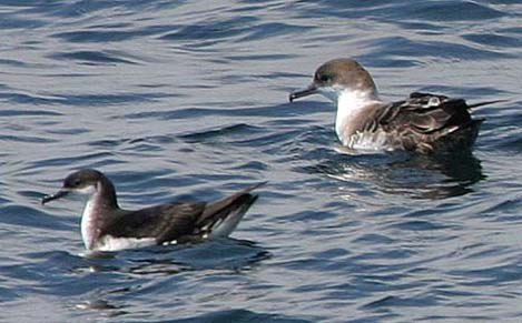 Images of Manx Shearwater