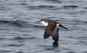 Photos of Manx Shearwater