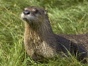 North American River Otter Picture
