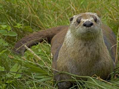 Pictures of North American River Otter