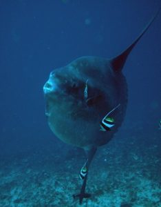 Photos of Ocean sunfish