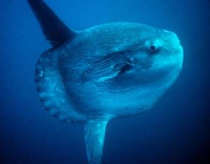 Pictures of Ocean sunfish