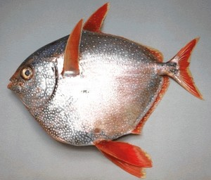 Opah Picture