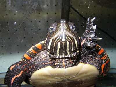 Images of Painted Turtle
