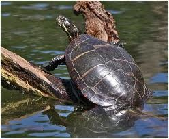 Photos of Painted Turtle