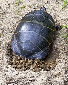 Pictures of Painted Turtle
