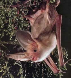 Images of Pallid bat