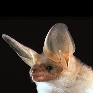 Photos of Pallid bat