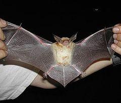 Pallid bat Picture