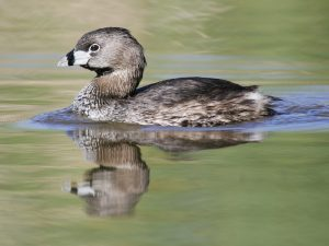 Pied Billed Grebe Picture