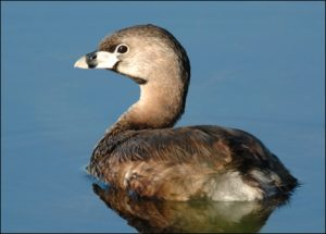Images of Pied Billed Grebe