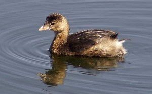 Pictures of Pied Billed Grebe