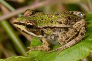 Images of Pool Frog