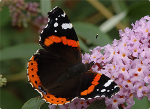 Images of Red Admiral