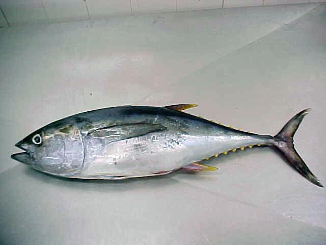 Images of Skipjack Tuna