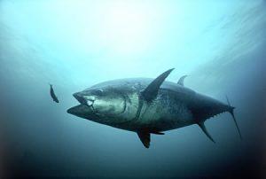 Photos of Skipjack Tuna