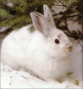 Images of Snowshoe Hare