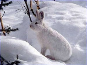 Photos of Snowshoe Hare