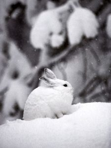 Pictures of Snowshoe Hare