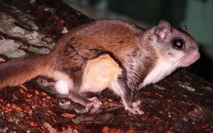 Southern Flying Squirrel Picture