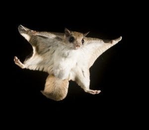 Images of Southern Flying Squirrel