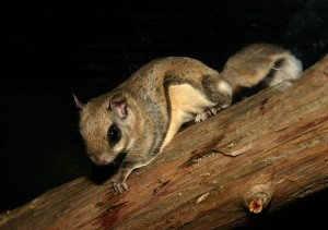 Photos of Southern Flying Squirrel