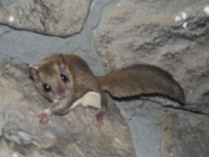 Pictures of Southern Flying Squirrel
