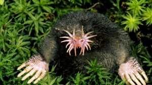 Images of Star Nosed Mole