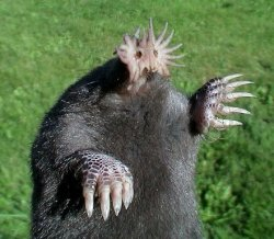 Pictures of Star Nosed Mole