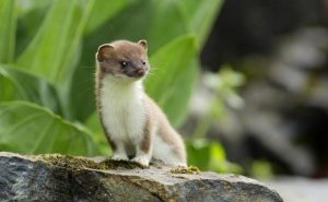 Stoat Picture