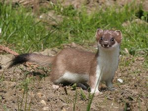 Images of Stoat