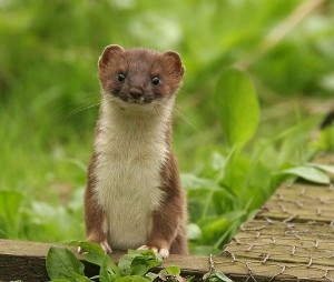 Photos of Stoat