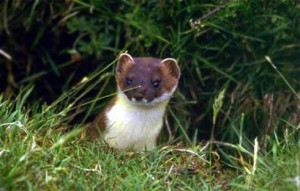 Pictures of Stoat