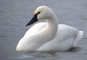 Tundra Swan Picture