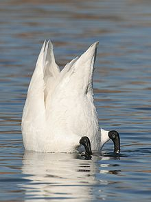 Images of Tundra Swan