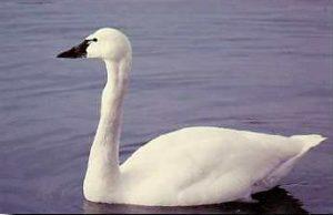 Photos of Tundra Swan