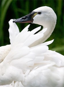 Pictures of Tundra Swan