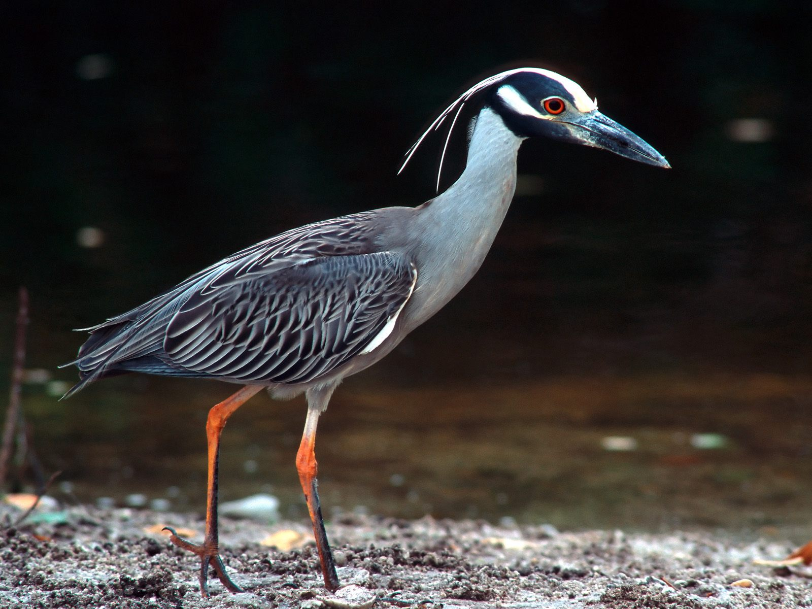 Images of Yellow Crowned Night Heron