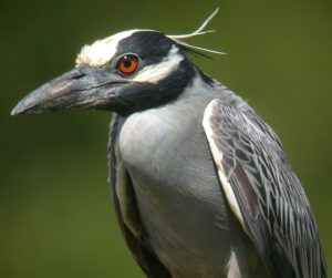 Pictures of Yellow Crowned Night Heron