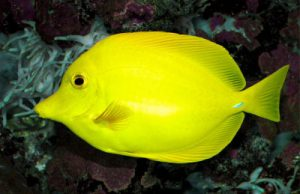 Yellow Tang Picture
