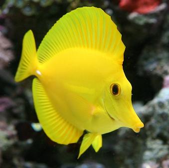 Yellow tang exotics fish loricula flame pygmy angel for Yellow saltwater fish