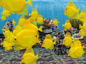 Photos of Yellow Tang