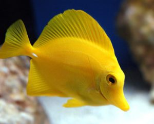 Pictures of Yellow Tang