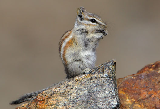 Pictures of Alpine Chipmunk