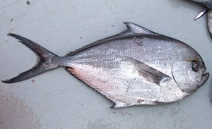 Atlantic Pomfret Picture